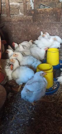 Продам цыплят бройлеров кобб-500
