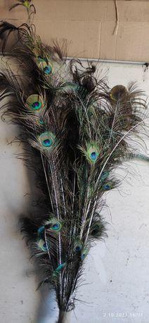 Pióra od pawia paw