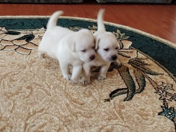 Лучшие друзья. Купить щенка лабрадора.