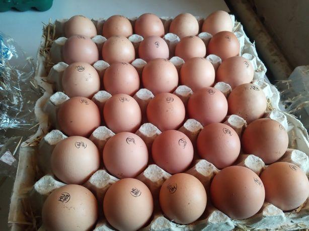 Инкубационное яйцо Кобб500