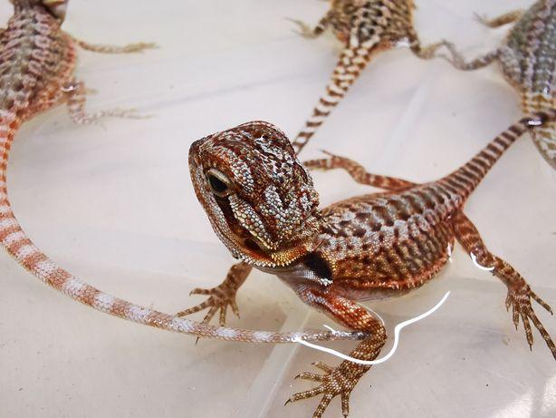Agama brodata - Pogona vitticeps - młode