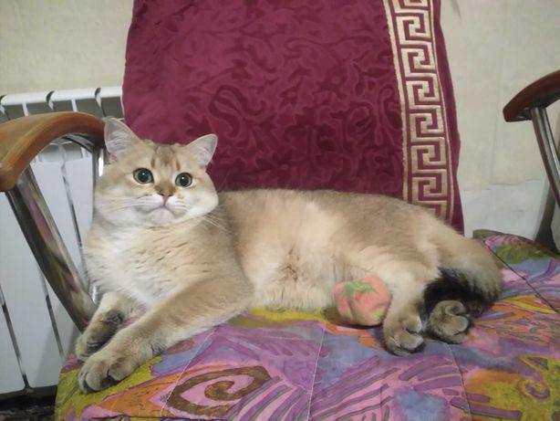 Вязка Кот золотая британская шиншилла ,  носитель ДШ и 12го окраса.