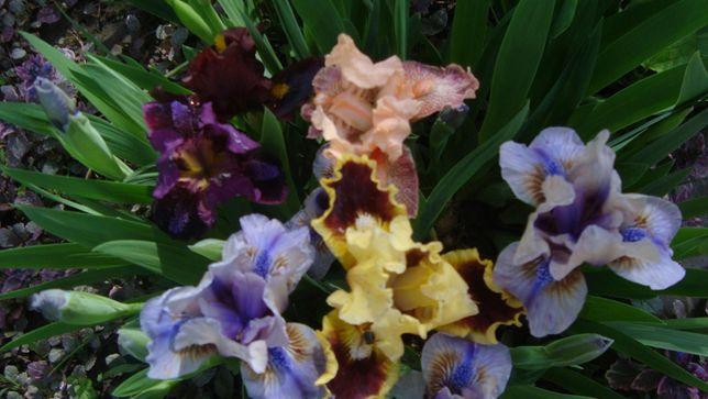 іриси низькорослі з цвітом мікс сортів