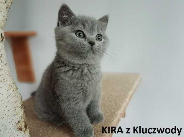Piękna kotka brytyjska do rezerwacji, rodowód Felis Polonia