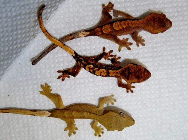 Выбор реснитчатых гекконов.