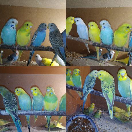 Волністі папужки
