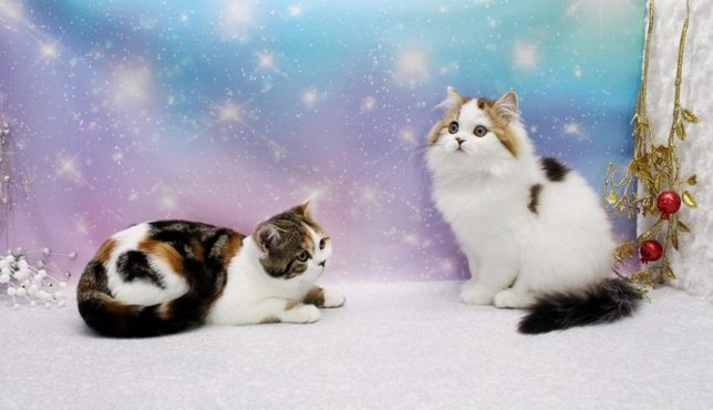 Очень замечательные шотландские прямоухие котята