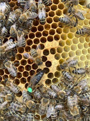 Пчелопакеты Карника Пернер 2021г.( Німеччина,F1)