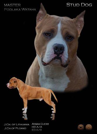 Amstaff/ American Staffordshire Terrier/ZKwP FCI