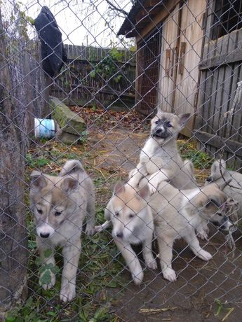 Продам ЗСЛ щенки