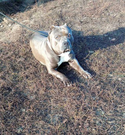 American Staffordshire Terrier Amstaff