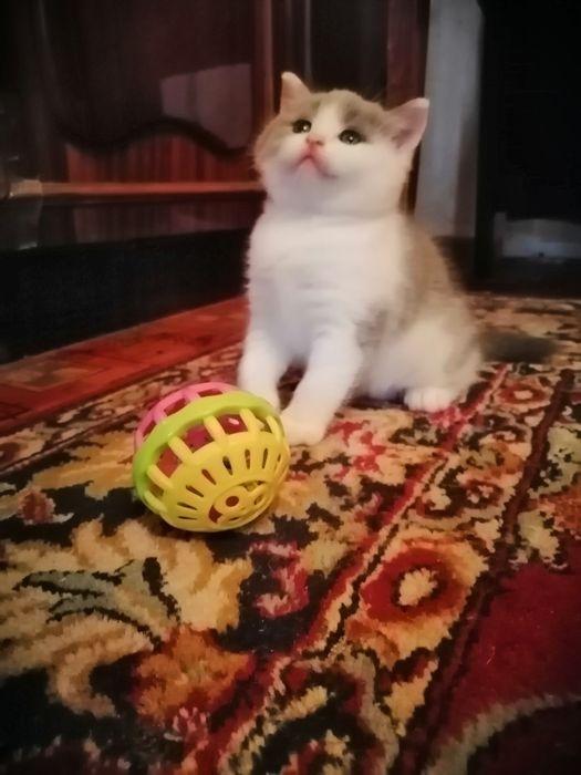 Британские котята Одесса - изображение 1