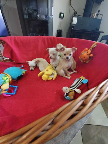 Szczeniaki chihuahua mini