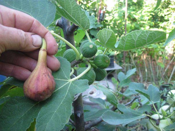 Саженцы плодовых инжиров