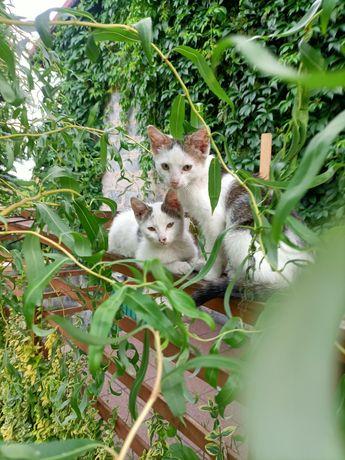 Oddam dwie oswojone młode kotki