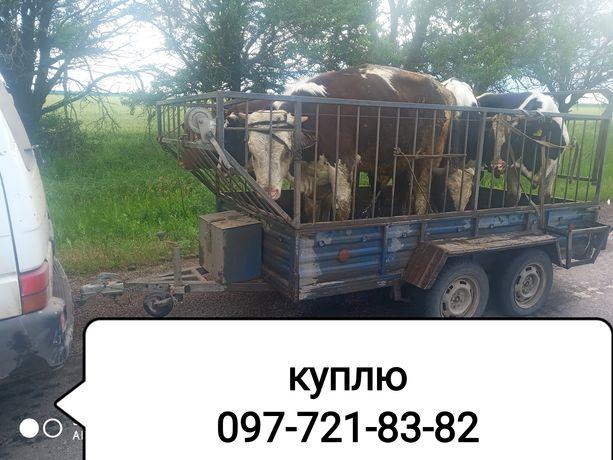 Свини, говядина ( живой вес)
