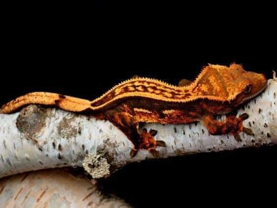 Gekony orzęsione, gekon orzęsiony - terrarium od 60zł