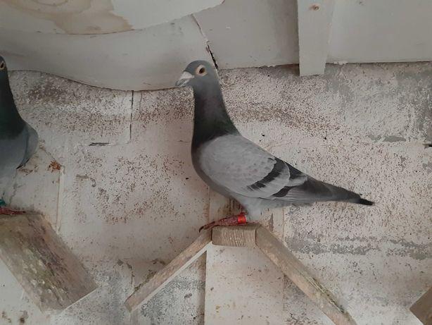 pombos correios reprodutores