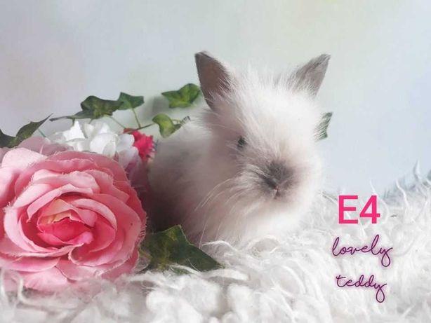 Karzełki Teddy ,królik miniaturka, królik karzełek