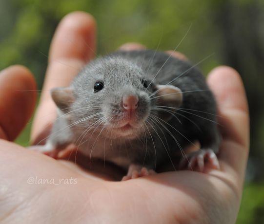 Крысенок дамбо. Русский голубой. Крыса.