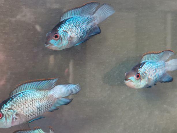 Sprzedam ryby akwariowe możliwość kupienia z akwarium 200l