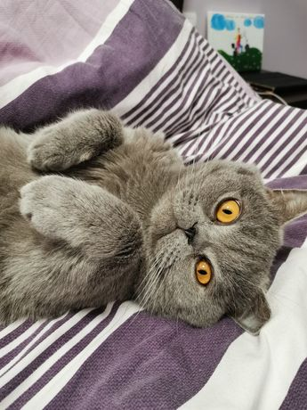 В'язка кота британський прямовухий