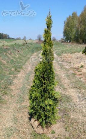Gęsta Tuja szmaragd 175-200 cm Grunt żywopłot Balot Tania wysyłka