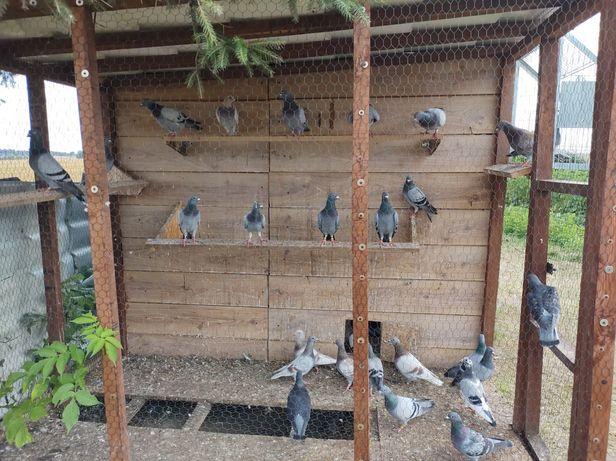 Gołębie pocztowe młode !!