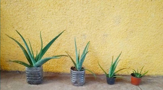 Cacto Aloe Vera / babosa
