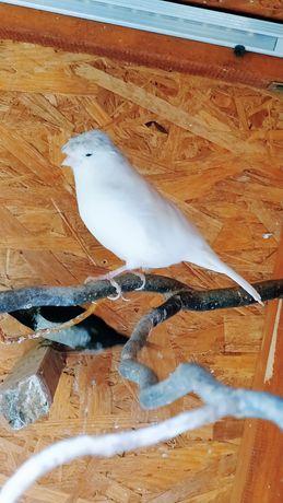 Kanarek biały samica Rezerwacja do poniedziałku