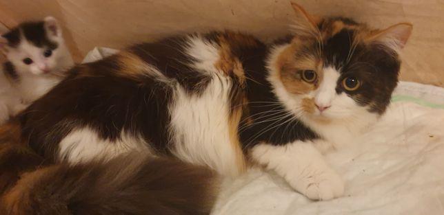 Munchkin (gato anão)