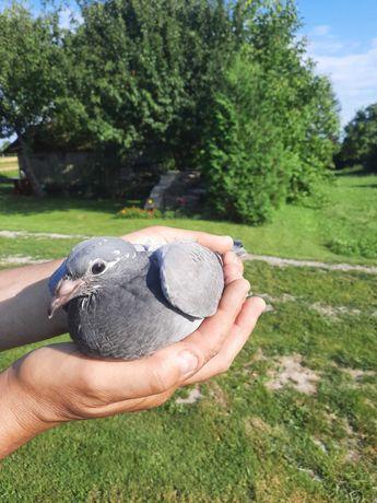 Młode gołębie po gołębiach pocztowych