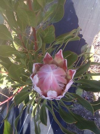 Proteas Pink king plantas