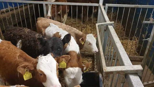 Sprzedam Cielęta Byczki mięsne