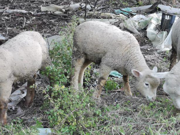 Pequeno rebanho de ovelhas