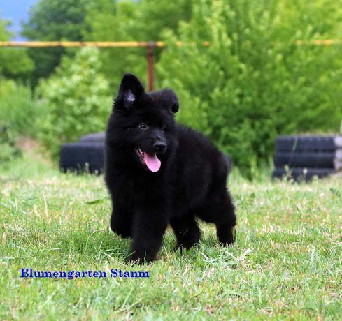 черный длинношерстный щенок немецкой овчарки