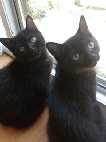 Безкоштовно Два Котики Британці