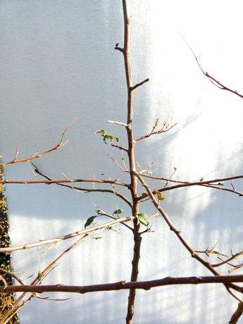 саженцы яблоня двухлетние, книп баум  саджанці карлик м 9
