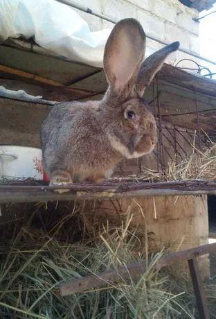 Кролики породы Обер,Фландр