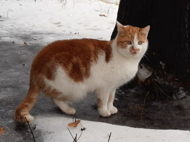 Отдам бело-рыжего кота , 10 месяцев