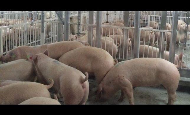Фермерське господарство на постійній основі продає свині живою вагою