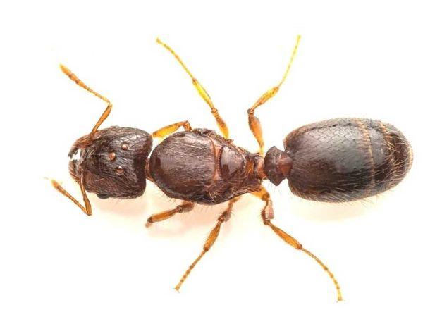 Mrówki Pheidole flaveria Q +15-25 robotnic