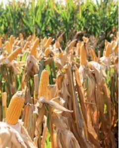 TALISMAN - nasiona kukurydzy HIT