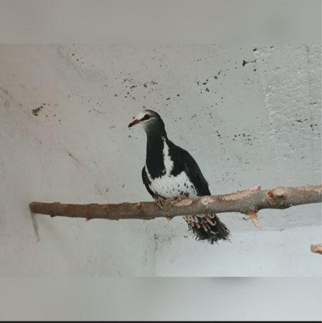 тамбурский голуб
