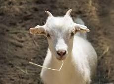 Продам козлят От хороших коз