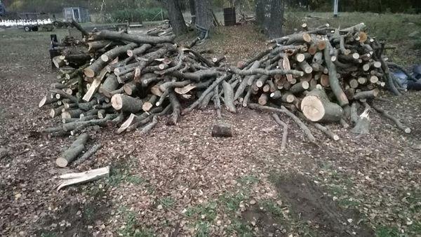 Sprzedam drzewo buk i dąb