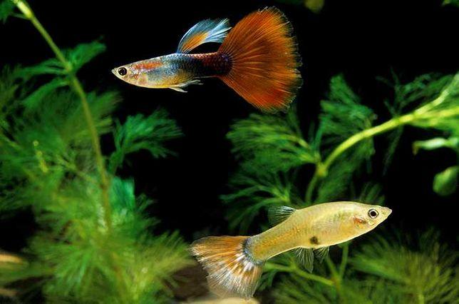 Рыбки гуппи красивые