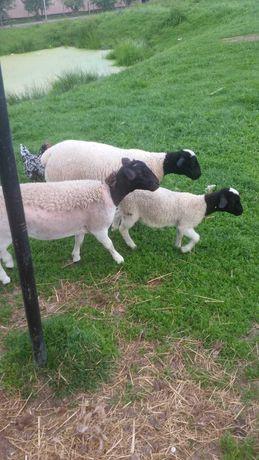 Dorper owieczki i baranki. Pary niespokrewnione.