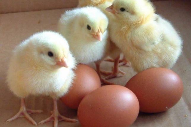 Бройлер кобб 500 суточные цыплята