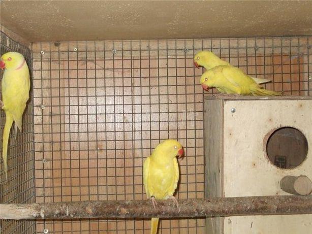 Продаю ожелеровых попугаев